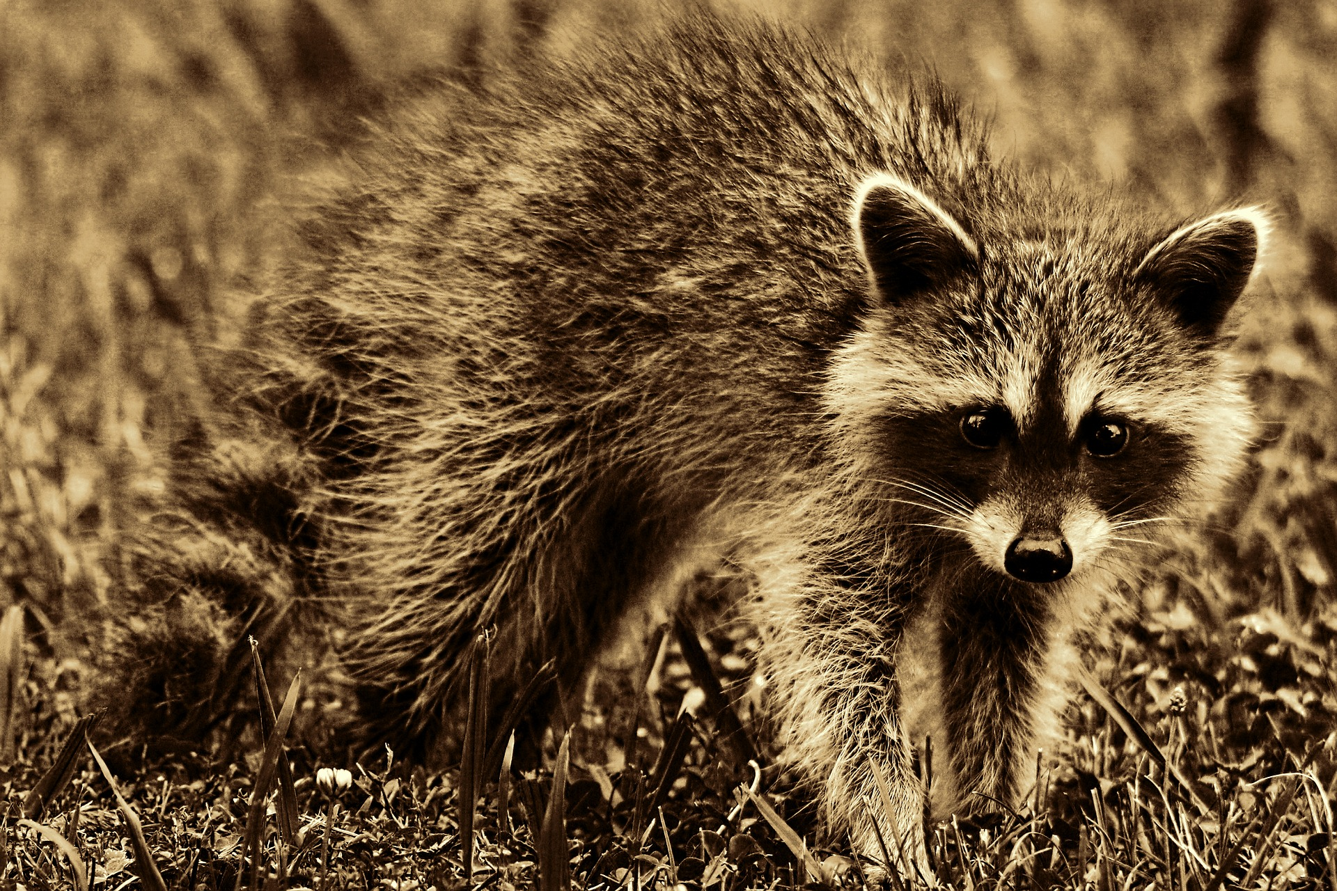 6 Ways to Go Coon Hunting Without Dogs