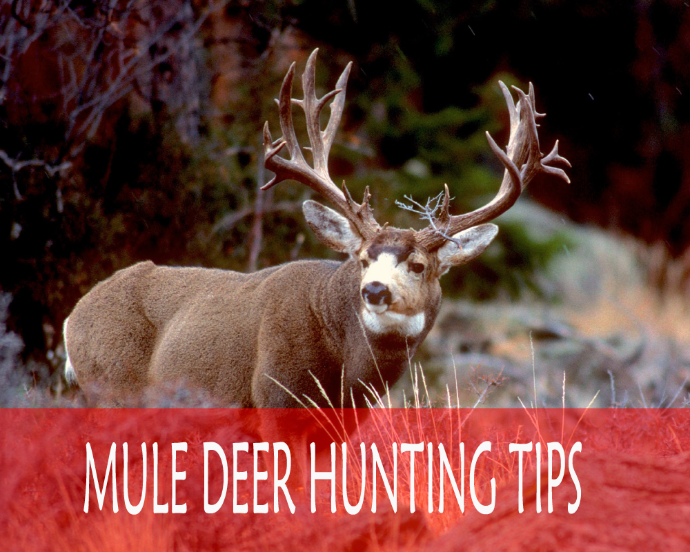Photo of Mule Deer Hunting Tips